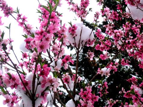 Spring_snow_1